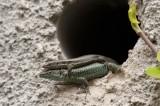 700_9018F Madeira muurhagedis (Lacerta dugesii, Madeira wall lizard).jpg