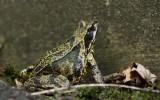 700_3859F bruine kikker (Rana temporaria, Common Frog).jpg