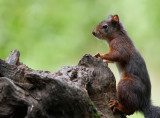 700_2570F rode eekhoorn (Sciurus vulgaris, Red squirrel).jpg