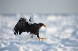 D4 5250F stellers zeearend (Haliaeetus pelagicus, Steller's sea eagle).jpg