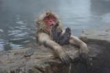 D4_2559 Japanse makaak (Macaca fuscata,Japanese macaques).jpg