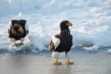 D4_4416F stellers zeearend (Haliaeetus pelagicus, Steller's sea eagle).jpg