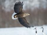 D4_5876F zeearend (Haliaeetus albicilla, White tailed eagle).jpg