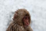 700_4835F Japanse makaak (Macaca fuscata, Japanese macaques).jpg