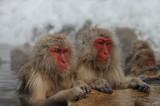 700_4945F Japanse makaak (Macaca fuscata, Japanese macaques).jpg