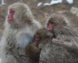 D4_2458F Japanse makaak (Macaca fuscata, Japanese macaques).jpg