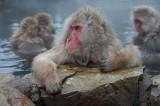 D4_2577F Japanse makaak (Macaca fuscata, Japanese macaques).jpg