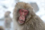 D4_3735F Japanse makaak (Macaca fuscata, Japanese macaques).jpg