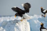 D4_5053F stellers zeearend (Haliaeetus pelagicus, Steller's sea eagle).jpg