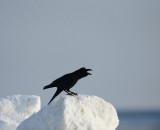 D4_5458F dikbekkraai (Corvus macrorhynchos japonensis, Large-billed crow).jpg