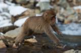 D4_3451G Japanse makaak (Macaca fuscata, Japanese macaques).jpg
