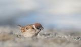 D4_0590F Japanse ringmus (Passer montanus, Japanese tree sparrow).jpg