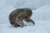 D4_2499F Japanse makaak (Macaca fuscata, Japanese macaques).jpg