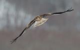 D4_3675F oostelijke zwarte wouw (Milvus migrans lineatus, Black-eared kite).jpg