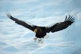D4_4190F stellers zeearend (Haliaeetus pelagicus, Steller's sea eagle).jpg