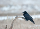 700_0330F raaf (Corvus corax, Northern raven).jpg