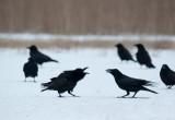 700_0670F raaf (Corvus corax, Northern raven).jpg