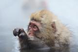 D4_3111F Japanse makaak (Macaca fuscata, Japanese macaques).jpg