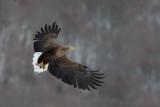 D40_3360F zeearend (Haliaeetus albicilla, White-tailed sea eagle).jpg