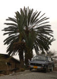A Palm tree and an old Corolla (from 70's) - 427.jpg