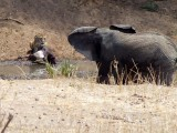 Lions and Elephant Confrontation