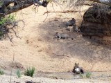 This is right after the elephant charged the lions and one brave lion returned to the kill