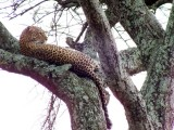 The Leopard Adventure