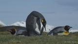 King penguins .jpg