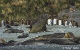 Elephant seal Male .jpg