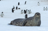 Weddell Seal.jpg