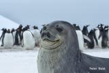 Weddell portrait seal.jpg