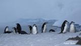 Chinstrap penguins .jpg