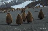 Juvenile King penguins.jpg