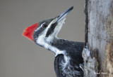 Pileated close up and personal.jpg
