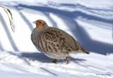 Grey Partridge backyard.jpg