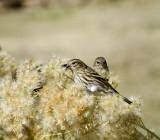 High Mesa Sparrow