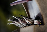 Hungry Rosy Finches