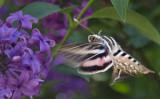 Humminbird Moth