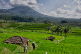 Jatiluwih's Expansive Rice Fields