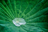 Water Captured by Lotus Leaf