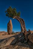 Lone Juniper Pine