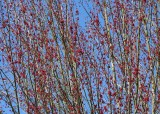 4 maple flowers