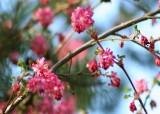 7 flowering currant