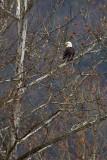 Bald Eagle in Sycamore