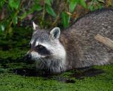 Racoon in the Water.jpg