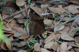 The Great Eggfly Female Ovipositing
