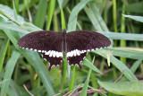 Papilio polytes cyrus