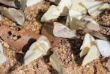 Appias albina darada