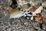 Hypolycaenus amasa amasa
