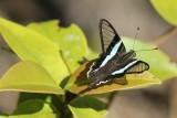 Lamproptera meges virescens